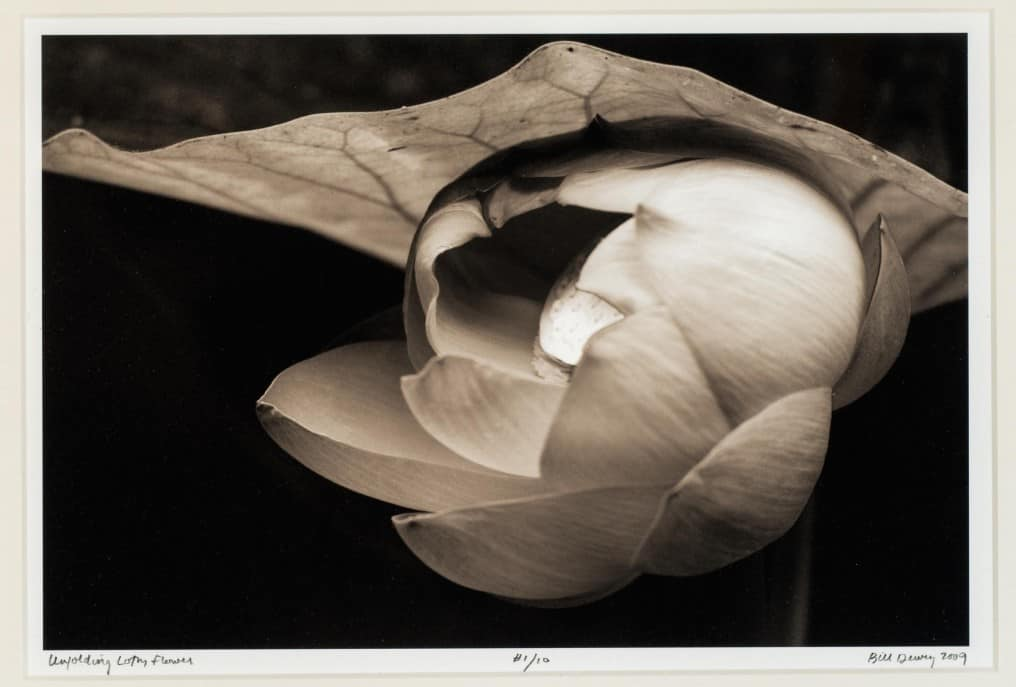 unfolding lotus flower 8x12